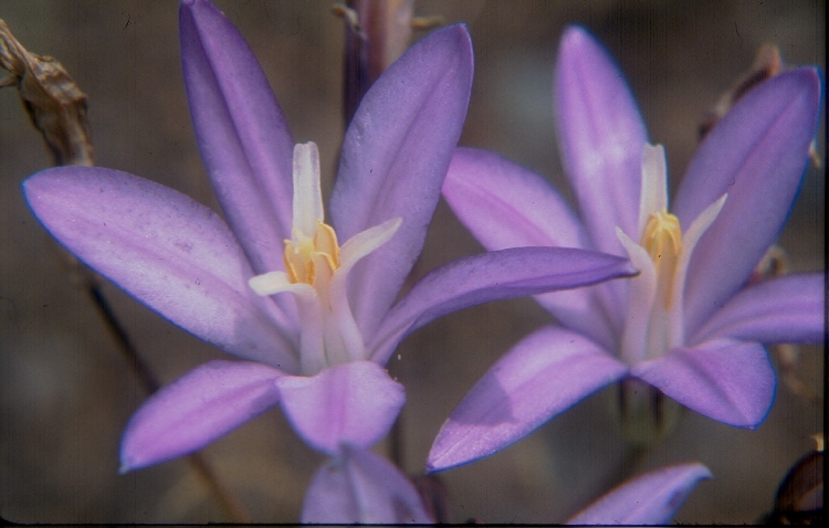 Brodiaea californica var. californica