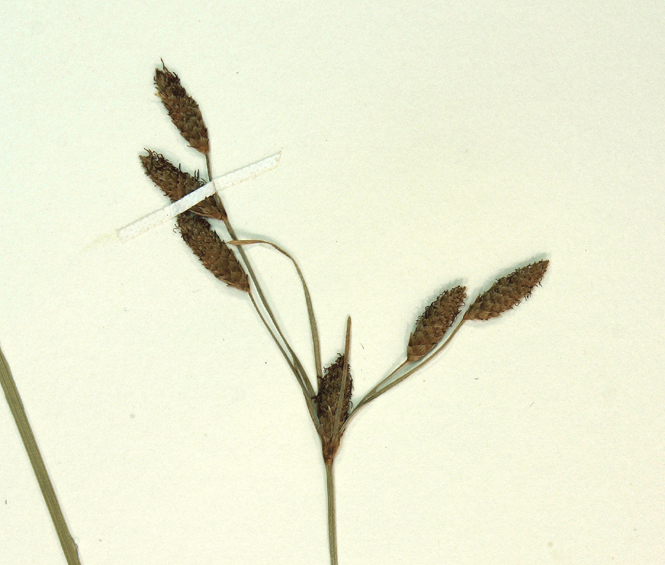 Fimbristylis thermalis