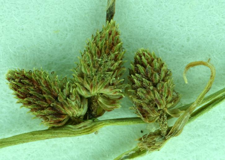 Lipocarpha micrantha