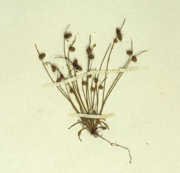 Lipocarpha occidentalis