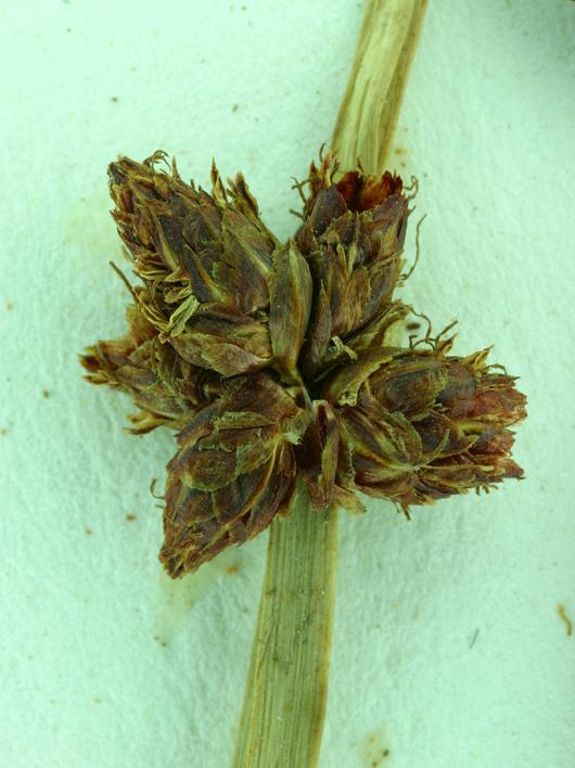 Scirpus americanus