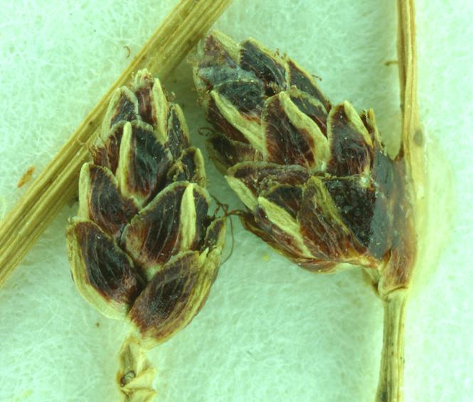 Scirpus cernuus