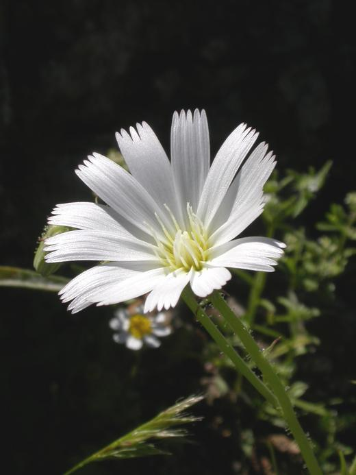 Calycoseris wrightii