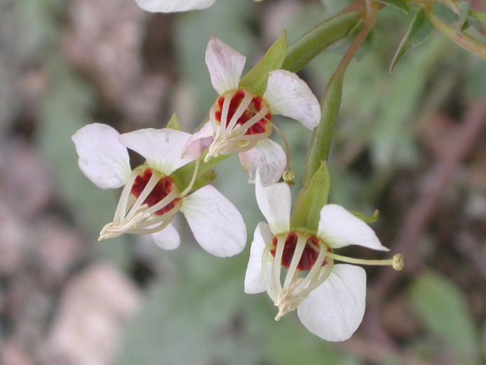 Chylismia claviformis ssp. aurantiaca