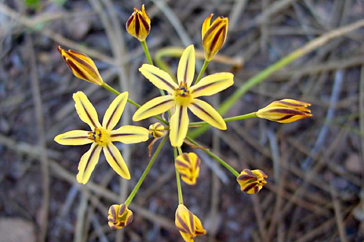 Triteleia ixioides ssp. anilina
