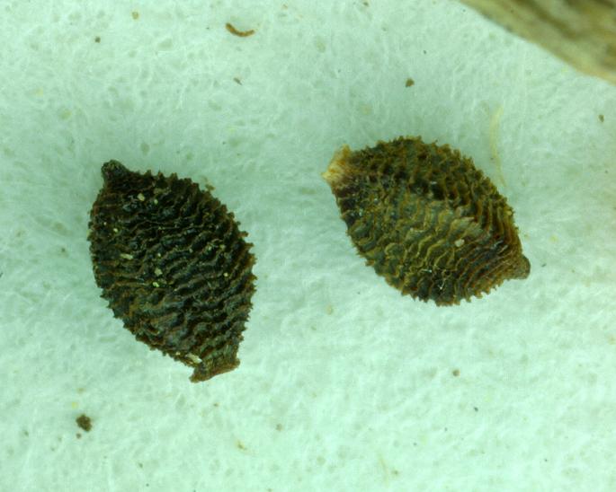 Schoenoplectus saximontanus