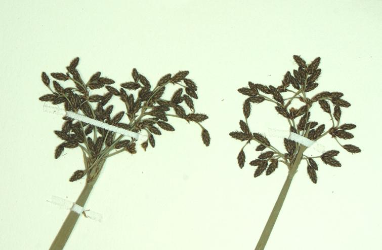 Scirpus tabernaemontani