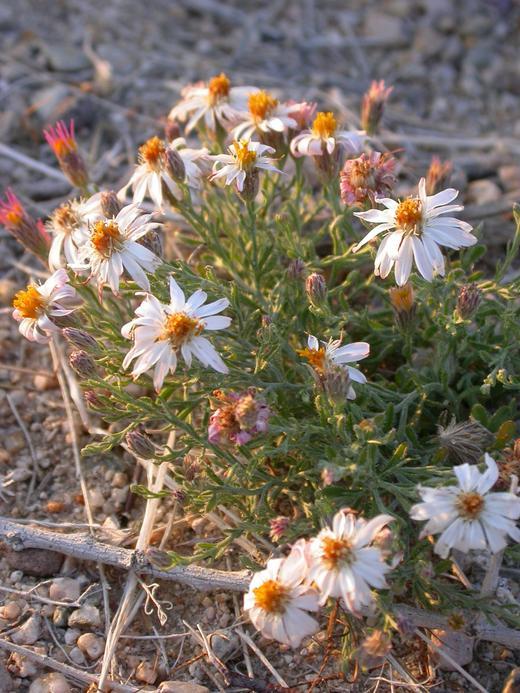 Chaetopappa ericoides