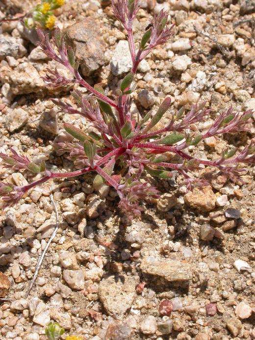 Chorizanthe watsonii