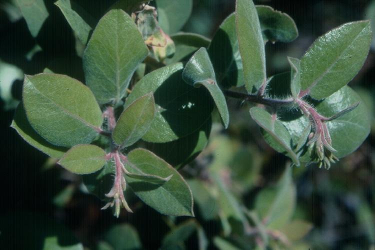 Arctostaphylos tomentosa ssp. crinita