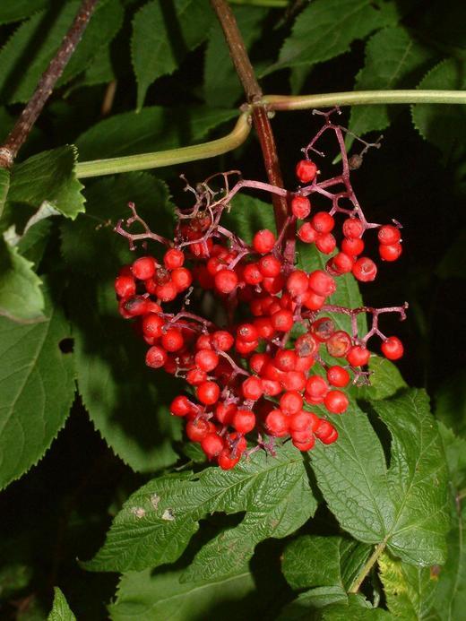 Sambucus racemosa var. racemosa