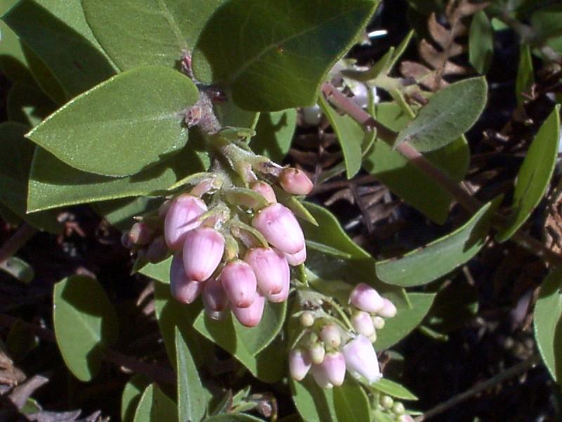 Arctostaphylos cruzensis