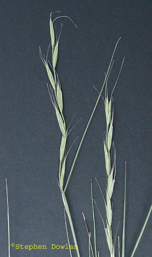 Elymus spicatus