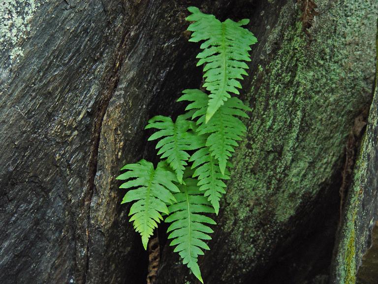 Polypodium calirhiza