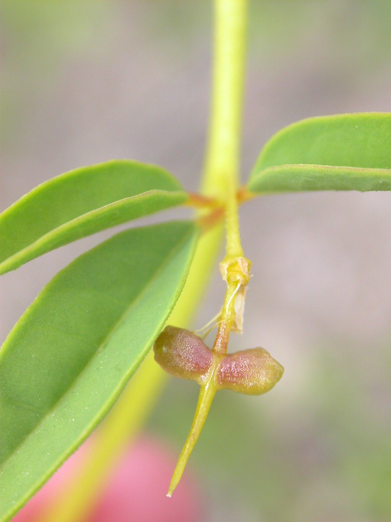 Wislizenia refracta ssp. refracta