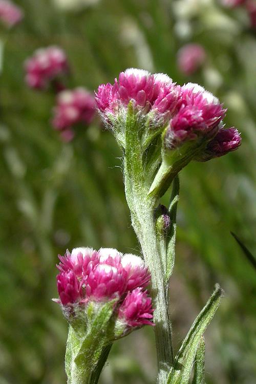 Antennaria rosea