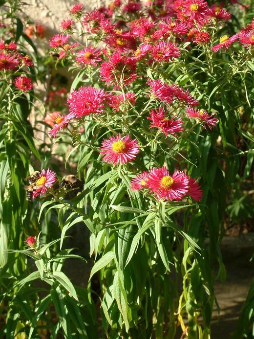 Lampranthus coccineus