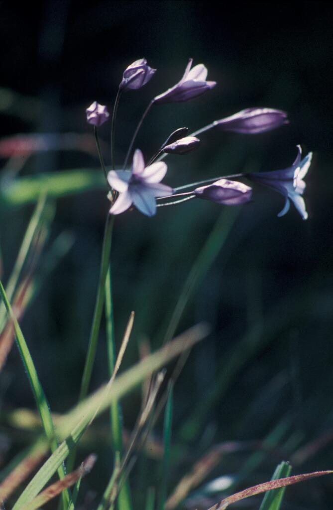 Triteleia clementina