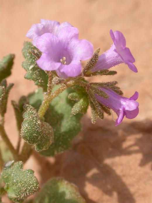 Phacelia pulchella var. gooddingii