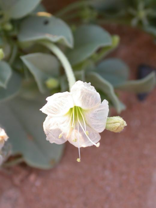 Selinocarpus nevadensis