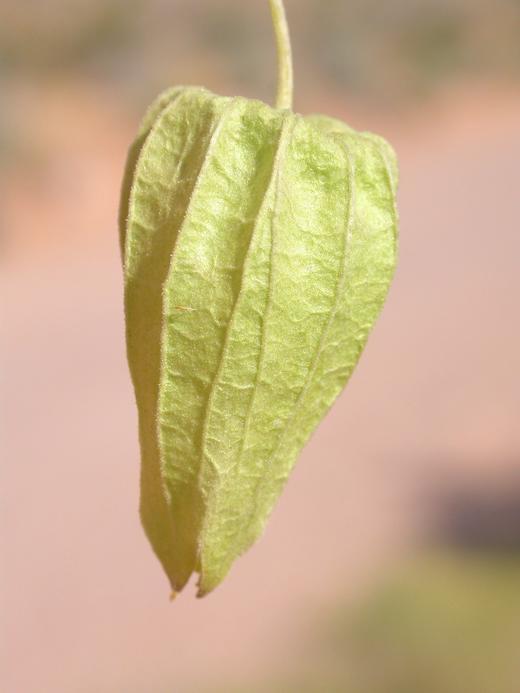 Physalis hederifolia var. fendleri