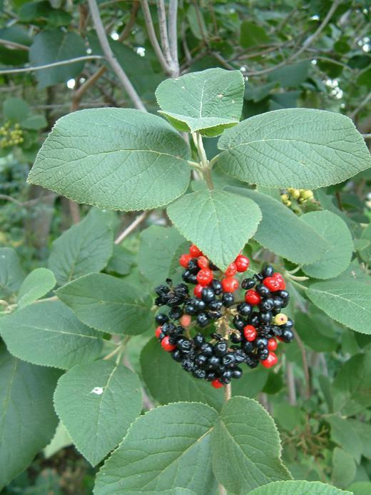 Viburnum Carlesii Korean Spice Viburnum