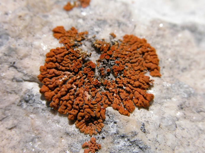 Caloplaca saxicola is a lichen that lives on rocks