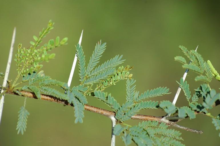 Calphotos Acacia Karroo Sweet Thorn