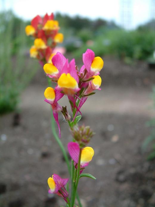 Linaria pinifolia