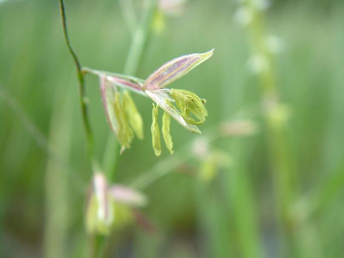 Zizania palustris