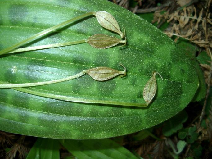 Scoliopus bigelovii