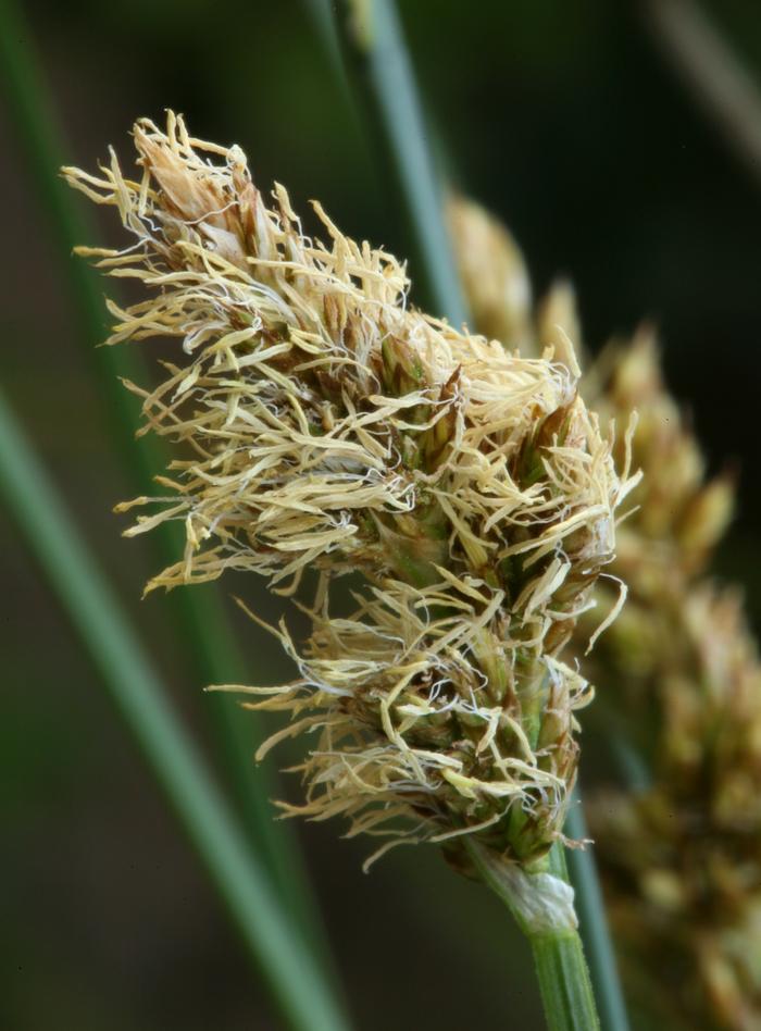 Carex alma