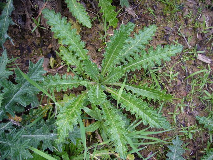 Cirsium brevistylum