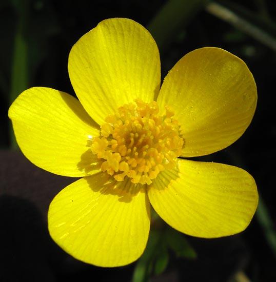 Ranunculus orthorhynchus var. platyphyllus