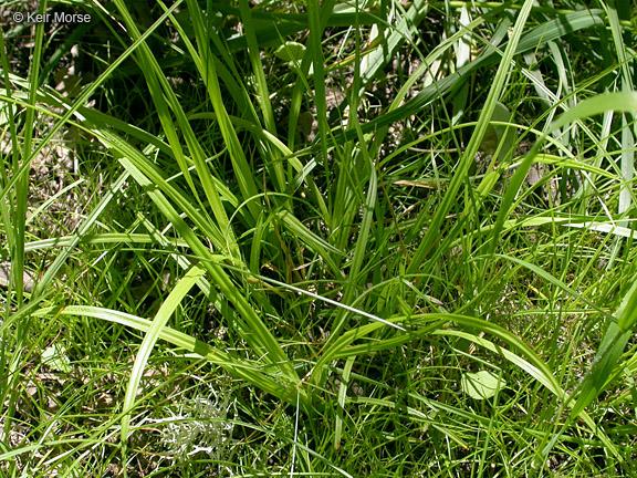 Carex leptopoda image