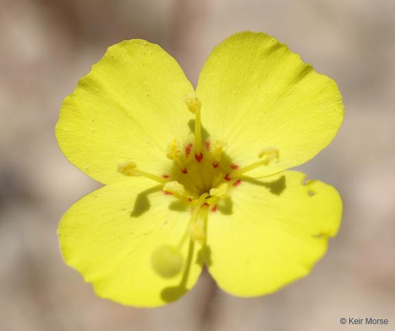 Camissonia campestris ssp. campestris