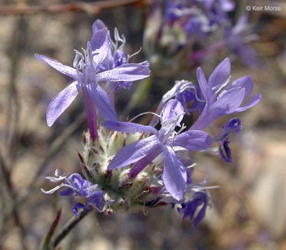 Eriastrum densifolium ssp. elongatum