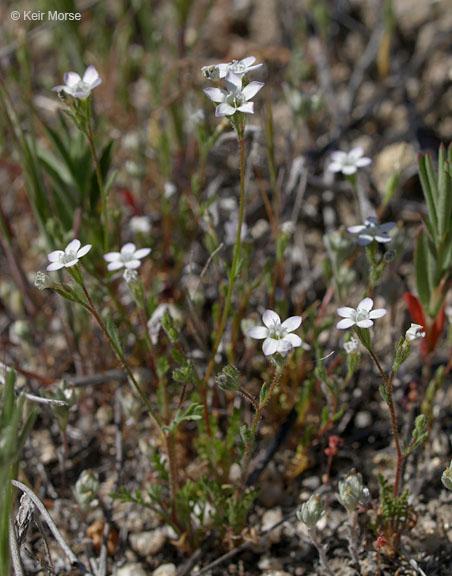 Gilia angelensis