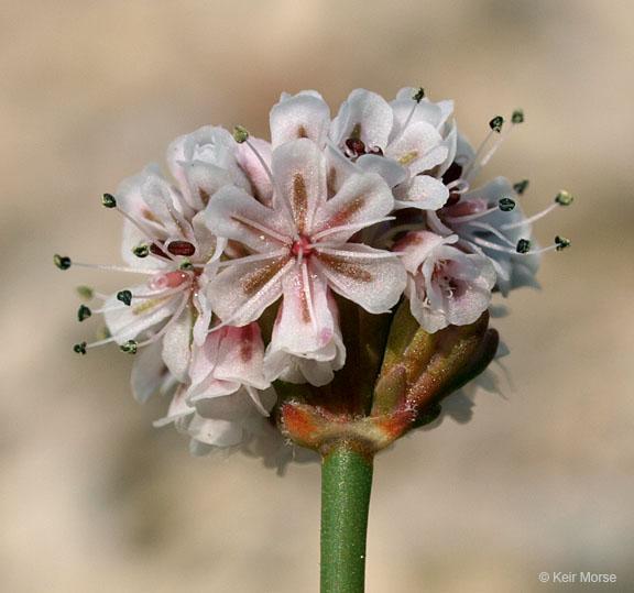 Eriogonum nortonii