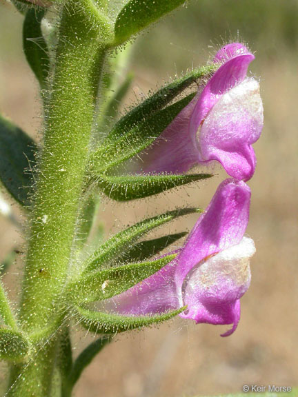 Antirrhinum multiflorum