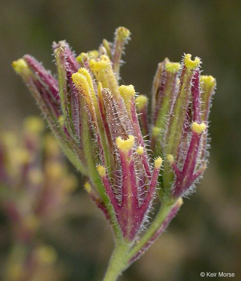 Cordylanthus rigidus