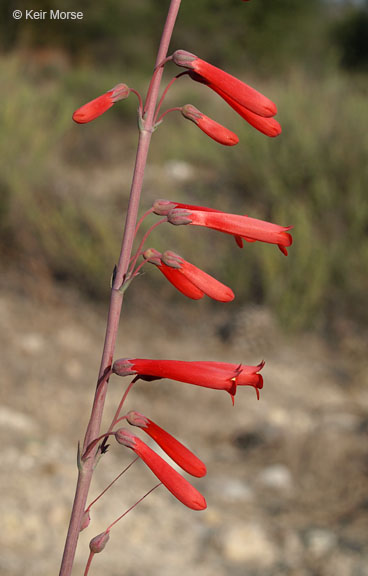 Image of Penstemon centranthifolius
