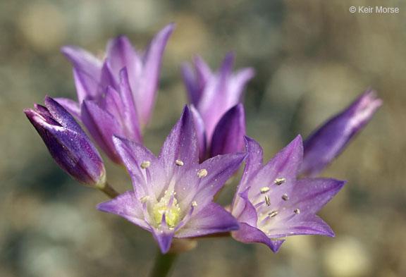 Allium fimbriatum var. fimbriatum