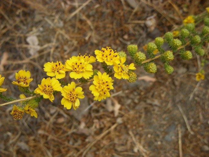 Holocarpha virgata ssp. virgata