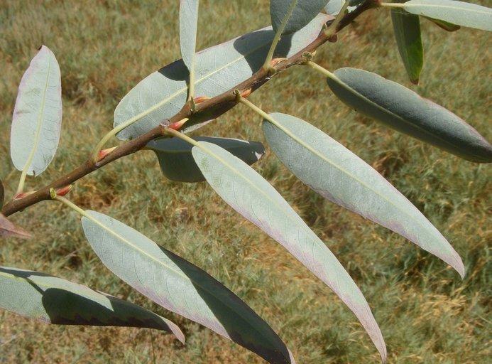 Salix laevigata