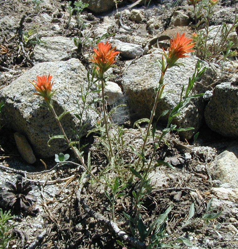 Castilleja applegatei ssp. pallida