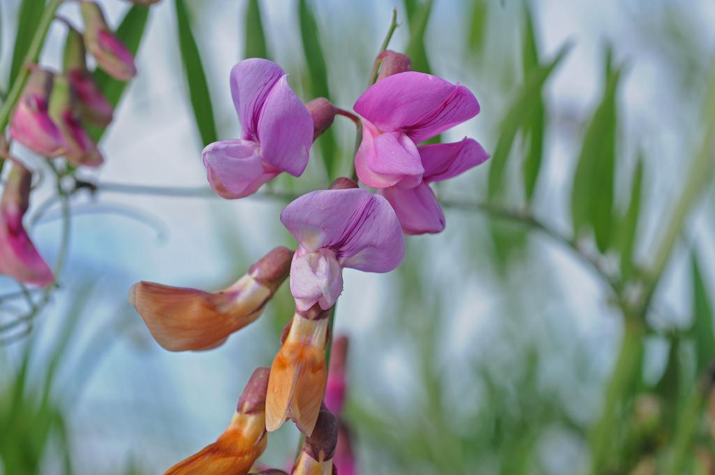 Lathyrus jepsonii