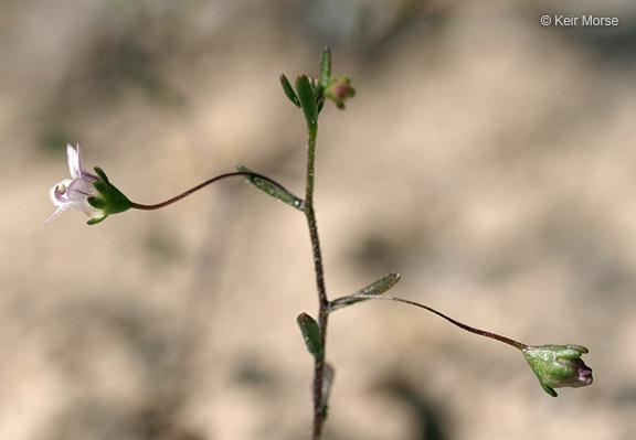 Nemacladus ramosissimus