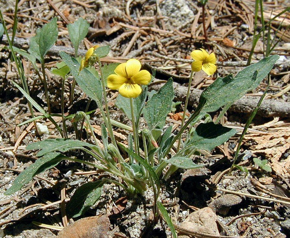 Viola pinetorum ssp. pinetorum