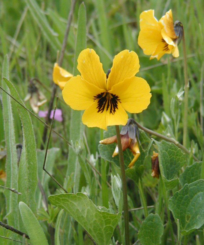 Viola pedunculata ssp. pedunculata